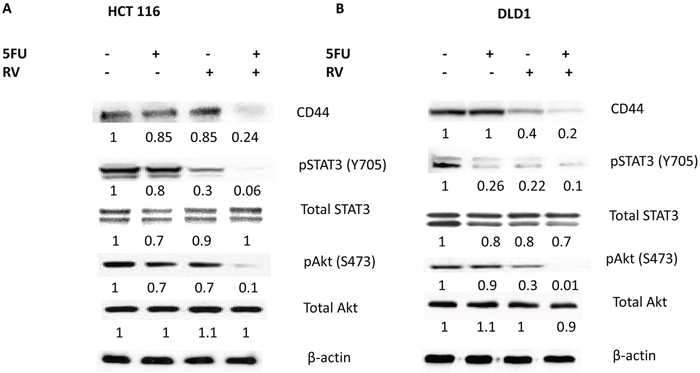 Combined treatments of resveratrol and 5-FU abolished the CD44, pSTAT3 and pAkt signaling.