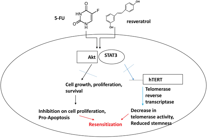 Schematic representation of combination treatment effects with 5-FU and resveratrol in colorectal cancer cells.
