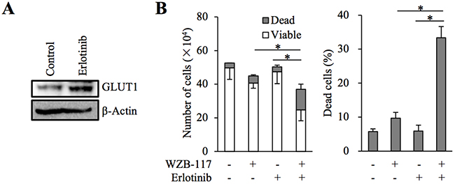 The role of GLUT1 in erlotinib resistance of A549 cells.