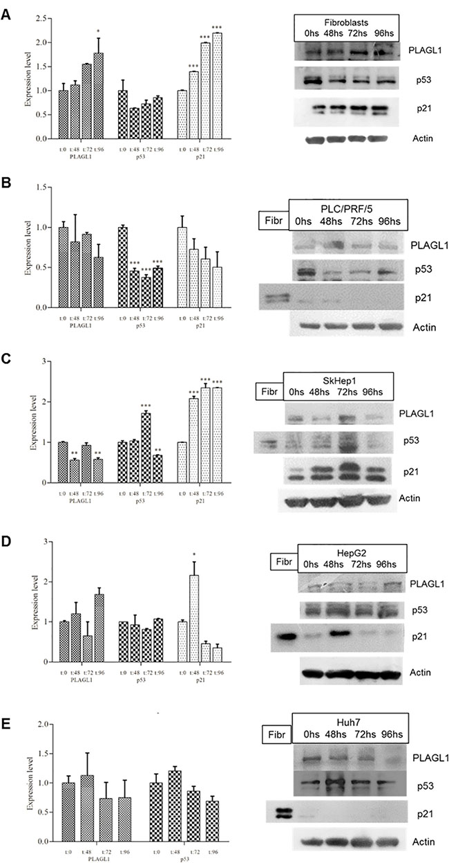 Expressiont level of PLAGL1, p53 and p21 of each cell line during proliferation.