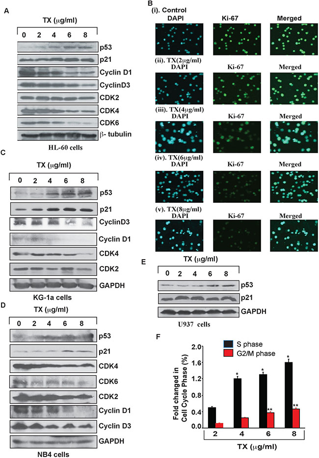 TX activates p53 leading to cell cycle arrest.