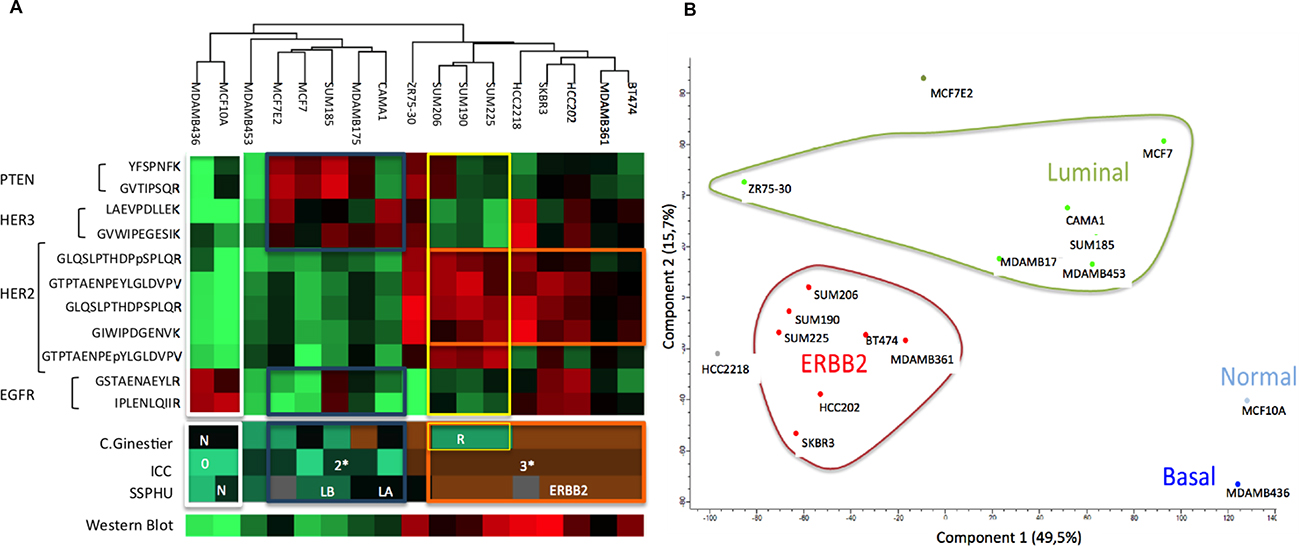 Protein expression of breast cell lines for EGFR, HER2, HER3 and PTEN and the corresponding proteomic classifications of Ginestier, ICC, HER2 expression obtained using western blot and transcriptomic classification SSPHU.