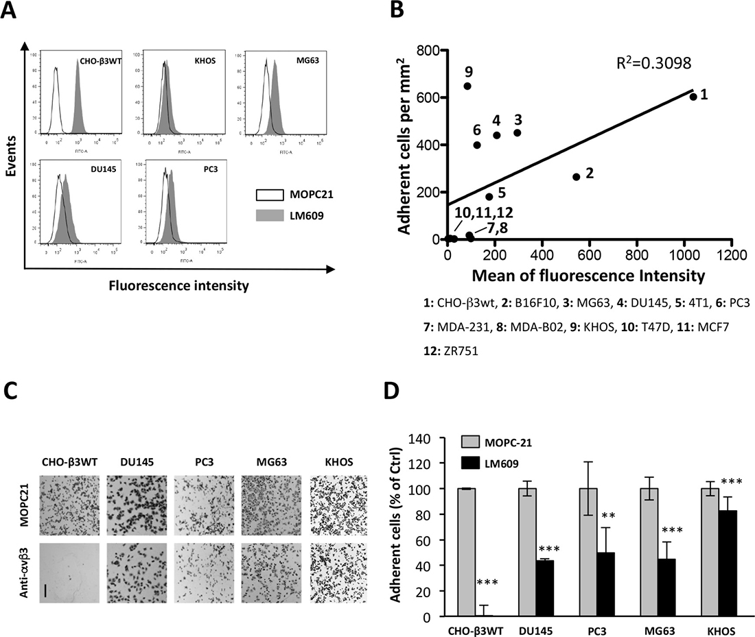 Integrin αvβ3 is partially involved in cell binding to ATXβ.