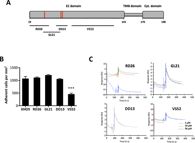 An extracellular domain SDC4-derived peptide controls cell adhesion on ATXβ but does not interact directly with ATXβ.