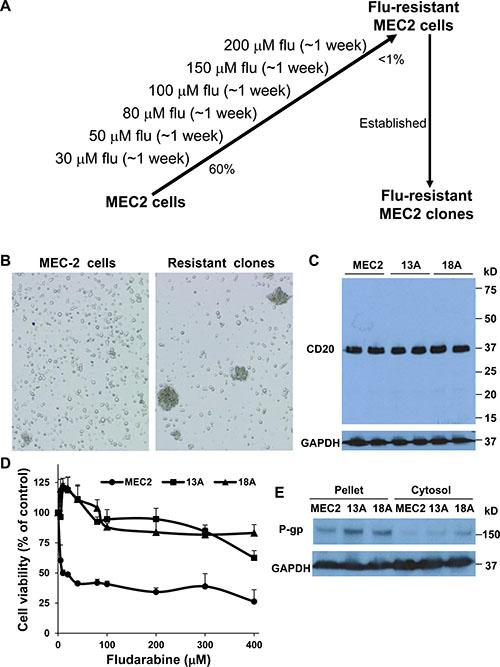 Characterization of flu-resistant clones.