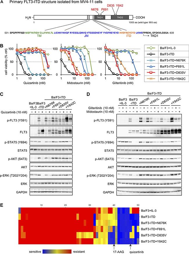 Establishment of FLT3-ITD and TKD mutant transfectants and drug screening.