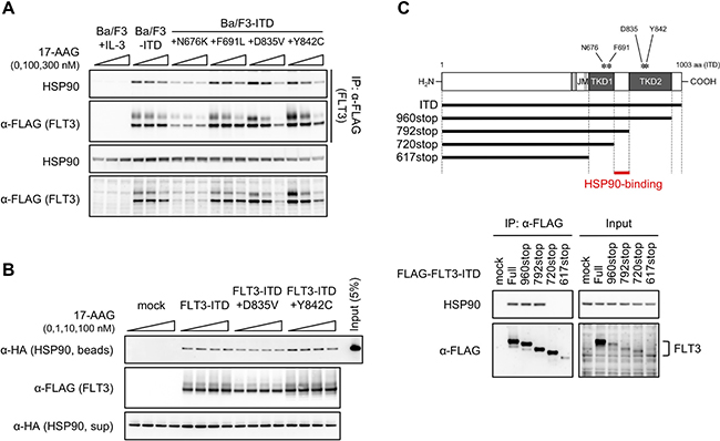 Effect of 17-AAG on FLT3-ITD–HSP90 binding.