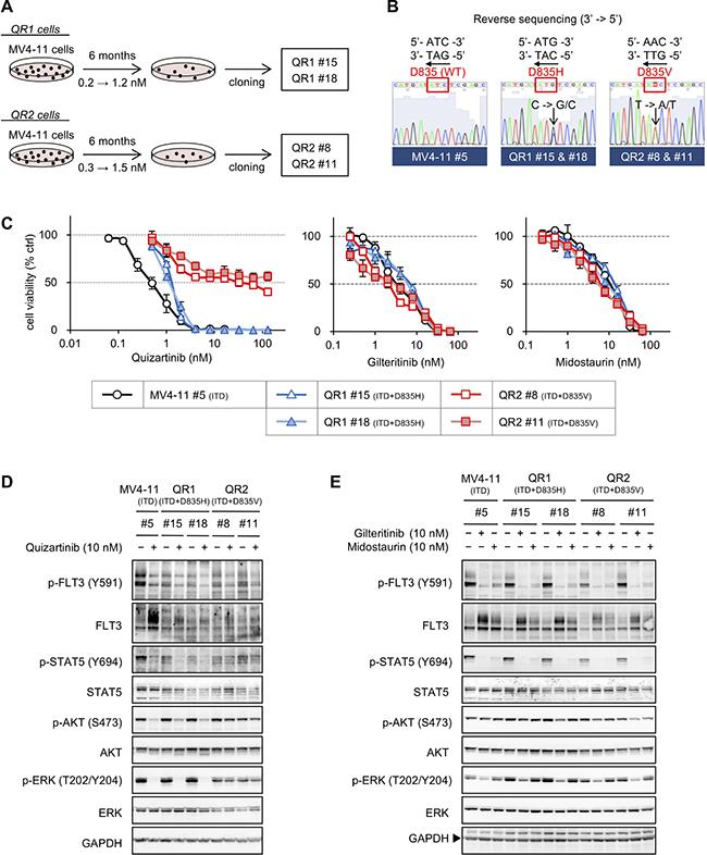 Establishment of quizartinib-resistant MV4-11 cells.