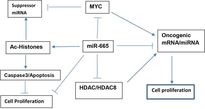 Proposed model illustrating how suppressor miR-665 targets c-MYC and HDAC8 to inhibit neuroblastoma cell proliferation and maintain cellular homeostasis.