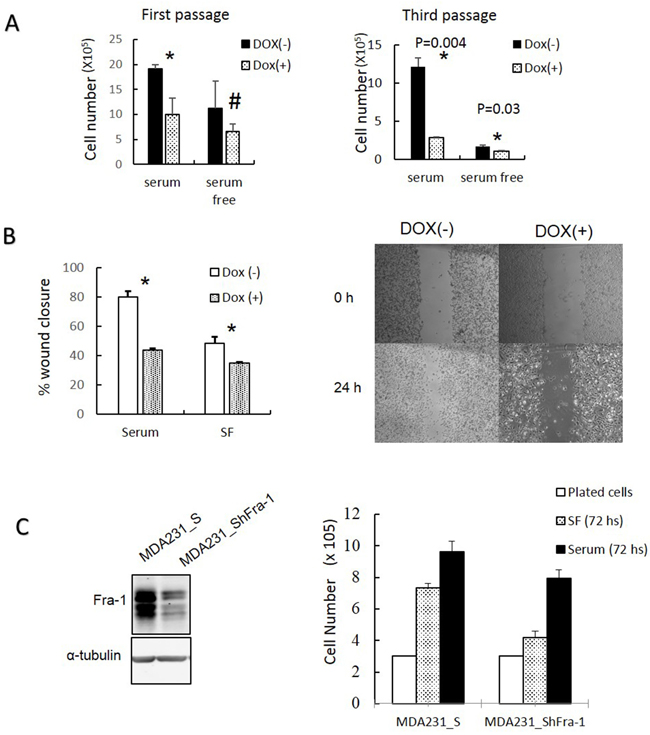 Inhibition of AP-1 activity and Fra-1 expression reduces MDA-MB-231 cell growth and migration.