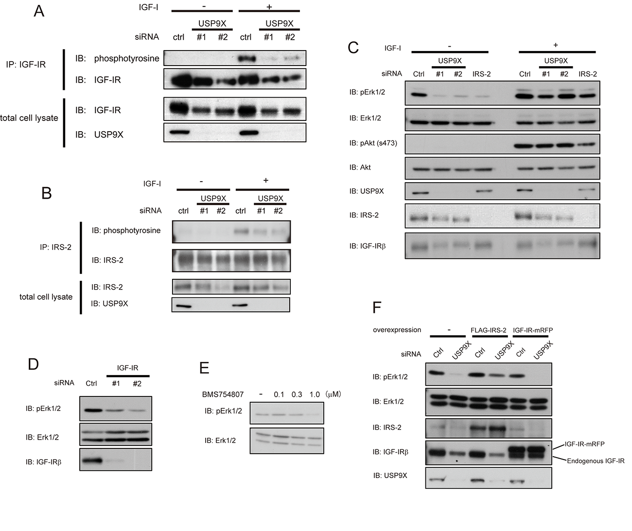 USP9X maintains the activation of Erk pathway by stabilizing IRS-2.