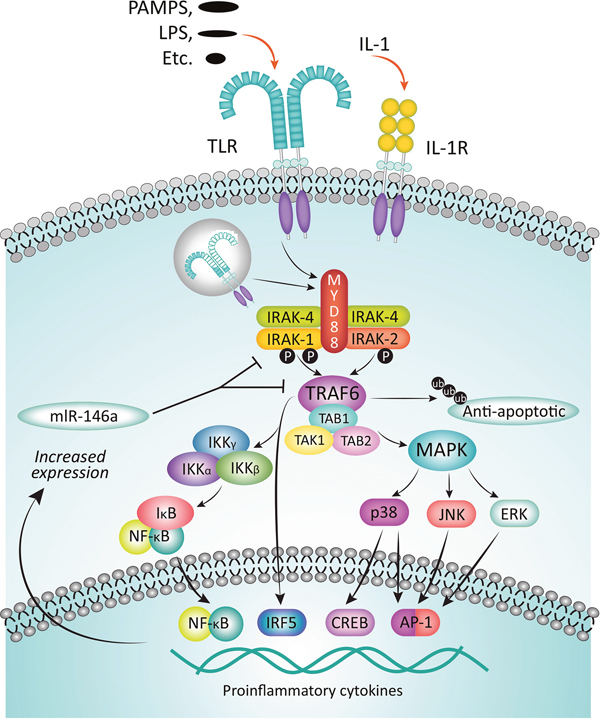 Function of IRAKs in the myddosome complex.