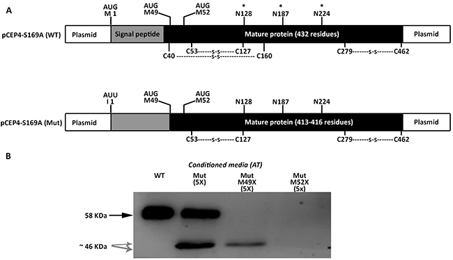 Identification of alternative AUG initiation codons in SERPINC1 responsible for the small antithrombins expressed in cells transfected with pCEP4-S169A-M1I (Mut) plasmid.