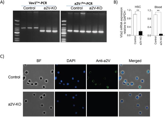 Hematopoietic stem cells lack a2V expression in a2V-KO mice.