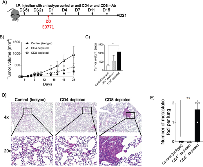 Depletion of CD8+ cytotoxic T cells in periphery leads to increased tumor growth.