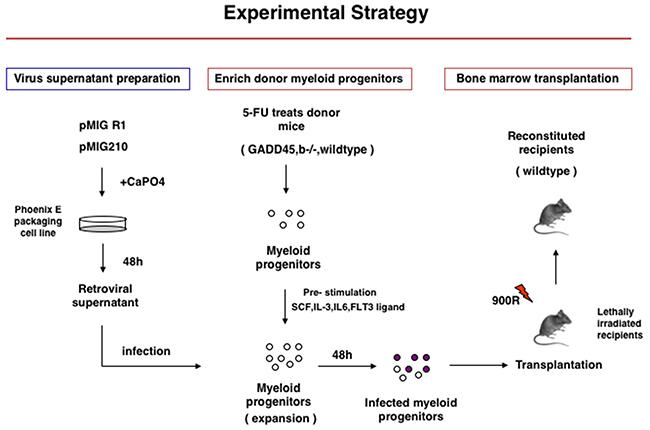 Experimental Startegy of Gadd45b-/- and wild type bone marrow transplantation into syngenic sub-lethaly irradiated mice.