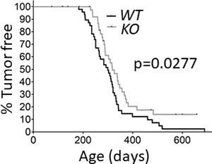 Deletion of capns1 in the mammary epithelium delays Her2/Neu-driven tumorigenesis.