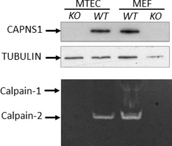 CAPNS1 protein and calpain-1/2 activities are ablated by capns1 deletion.