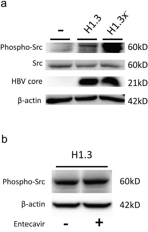 c-Src kinase activity in HBV-replicating hepatoma cells.