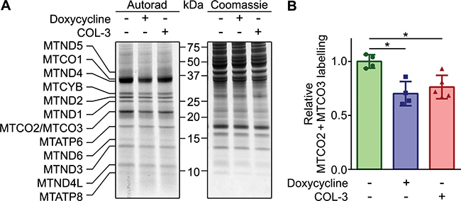 DC and COL-3 decrease mitochondrial translation.