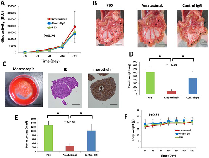 Amatuximab prevents the development of tumor masses in an AsPC-1-Gluc peritoneal metastasis mouse model.