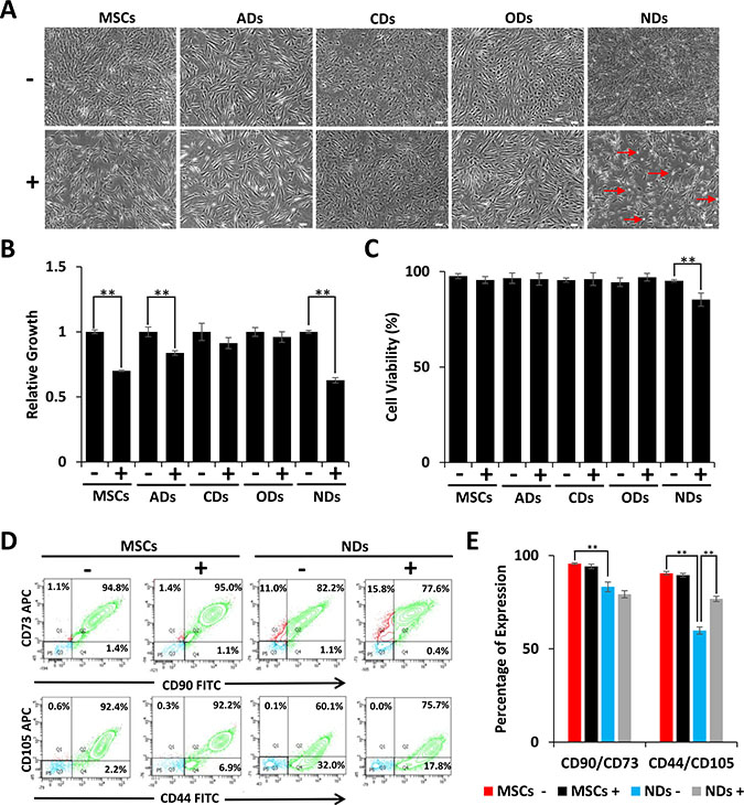 Effect of JQ1 on morphology, viability, and growth of MSCs and derivatives.