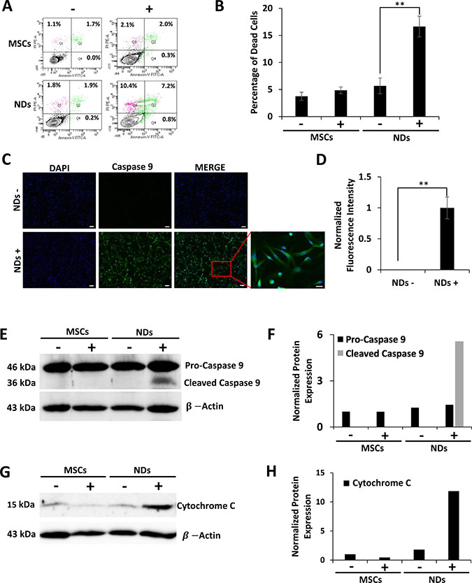 Effect of JQ1 on the expression of Caspase 9 and Cytochrome C.