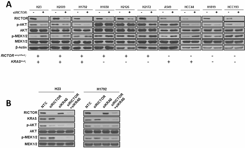 Compensatory MAPK signaling activation following RICTOR knockdown in KRAS mutant settings.