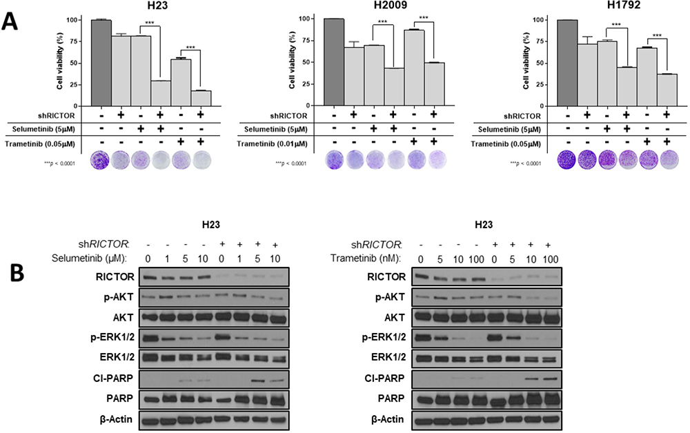 RICTOR knockdown enhances the pharmacologic efficacy of MAPK inhibition in RICTOR/KRAS-altered settings.