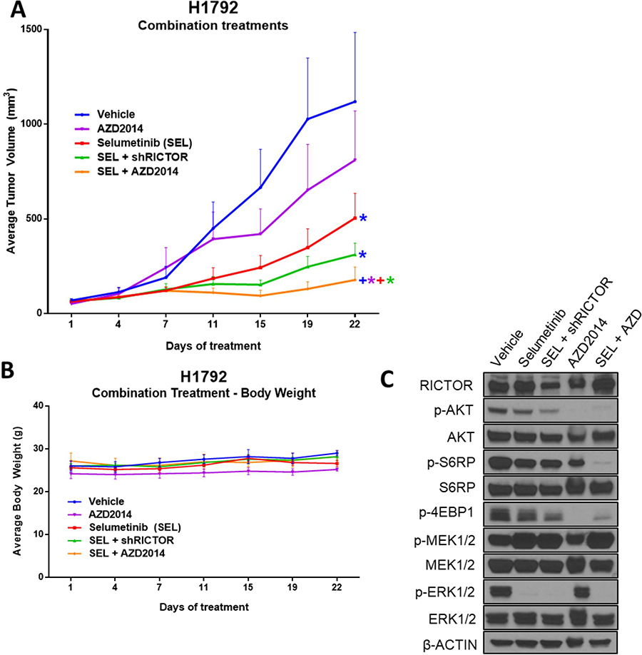 Dual mTORC1/2 and MEK1/2 pathway inhibition results in the strongest anti-tumor effect in vivo.