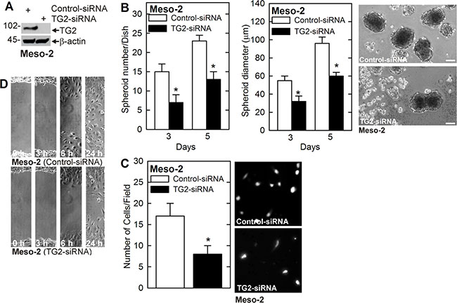 TG2 knockdown reduces MCS cell properties in Meso-2 cells.