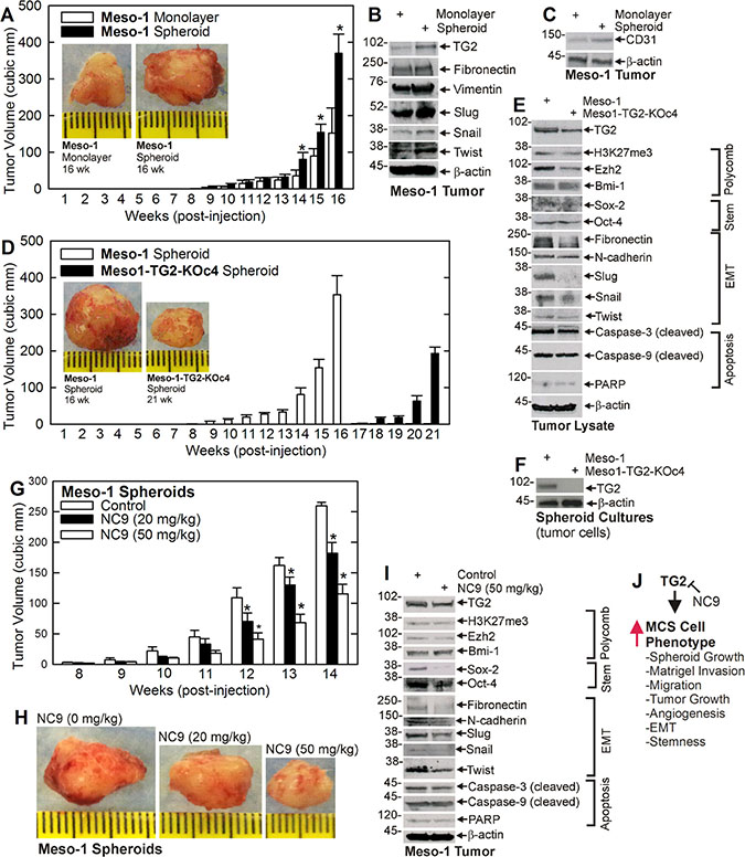 TG2 is required for optimal tumor formation.