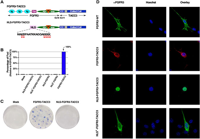 Nuclear-localized FGFR3-TACC3 does not result in cell transformation.