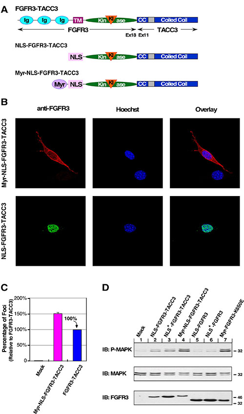 Re-localization to the plasma membrane restores oncogenic activity to NLS-FGFR3-TACC3.
