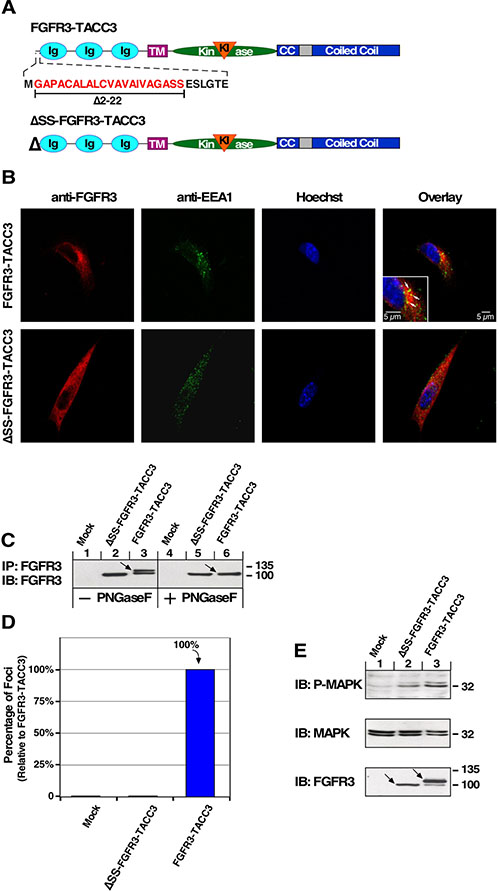 FGFR3-TACC3 depends on entrance to the secretory pathway for oncogenic effects.