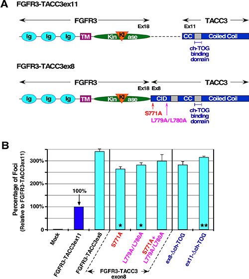 TACC3 domain mutations and their contribution to cell transformation.