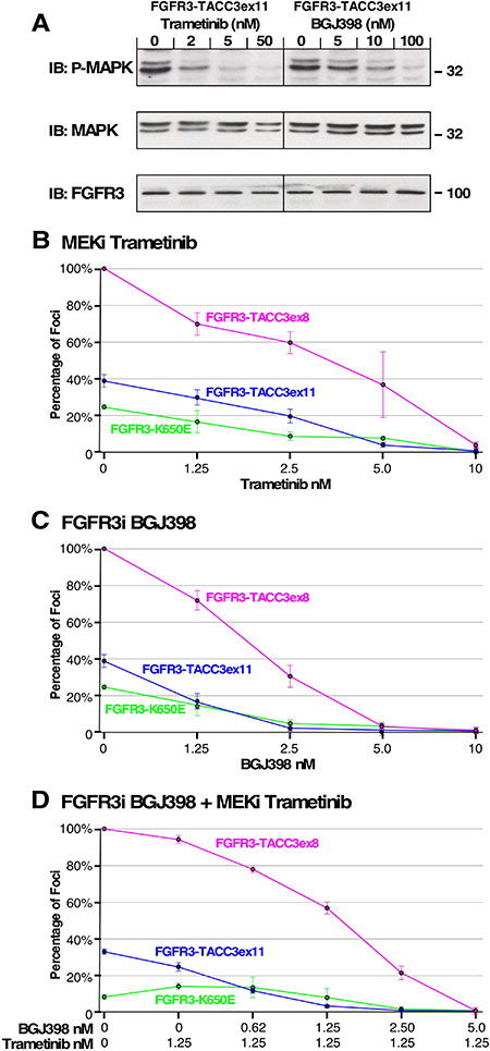 Effect of MEK and FGFR inhibitors on cell transformation and MAPK pathway signaling.
