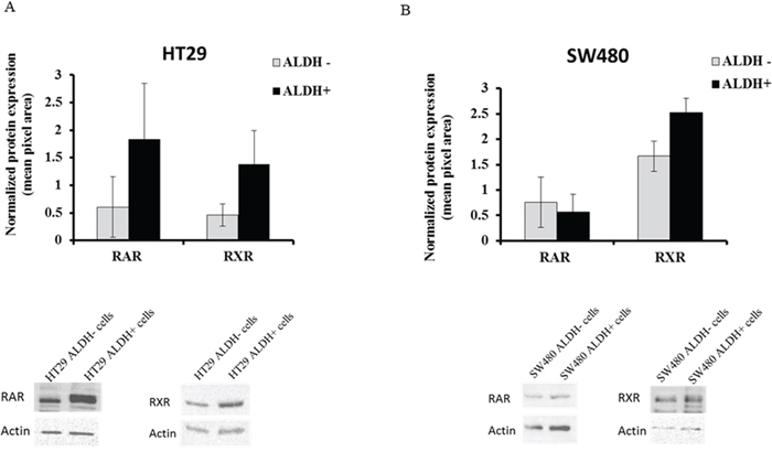 RAR and RXR receptor protein expression in ALDH+ and ALDH- cell populations.