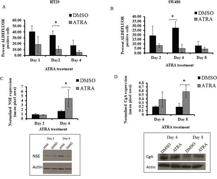 ATRA treatment of HT29 and SW480 cells decreased the percentage of ALDH+ cells and increased NSE and CgA protein expression.