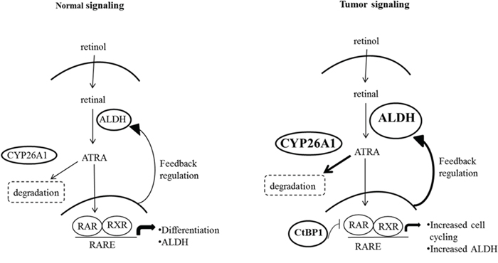 A comparison of normal and malignant colon tissues reveals differences in the expression of several key components in the retinoic acid (RA) signaling pathway.