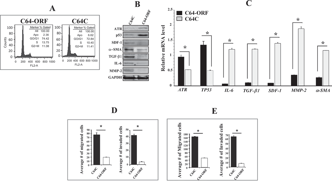 Ectopic expression of ATR suppresses breast myofibroblasts and their paracrine procarcinogenic effects.