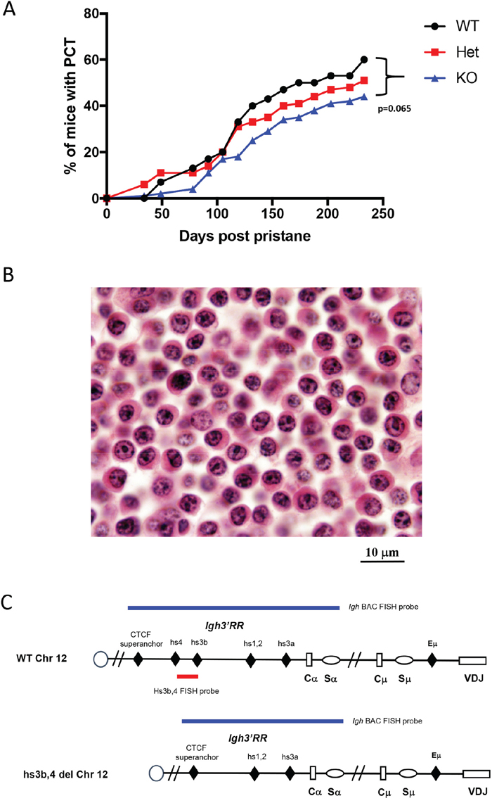 Deletion of hs3b-4 only moderately reduces PCT tumor incidence.