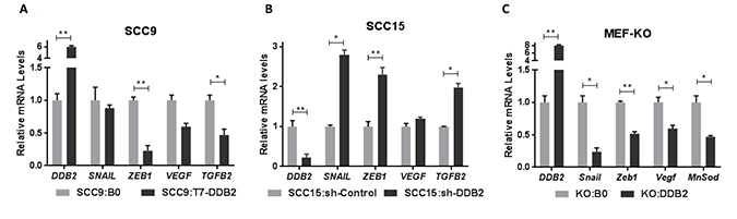 DDB2 represses expression of EMT-regulatory genes in HNSCC and in DDB2 knock-out MEFs (mouse embryonic fibroblasts).