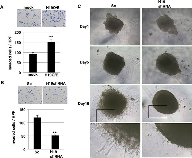 H19 promotes invasion in PDAC cells.