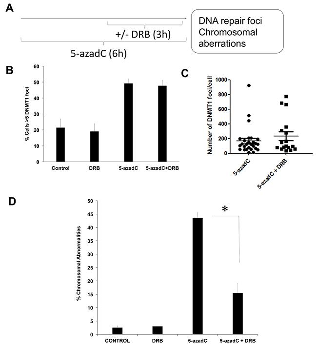 5-azadC induces transcription-coupled DSBs.
