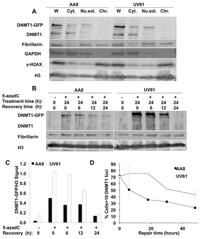 Delayed repair of trapped DNMT1 in CSB mutant cells.