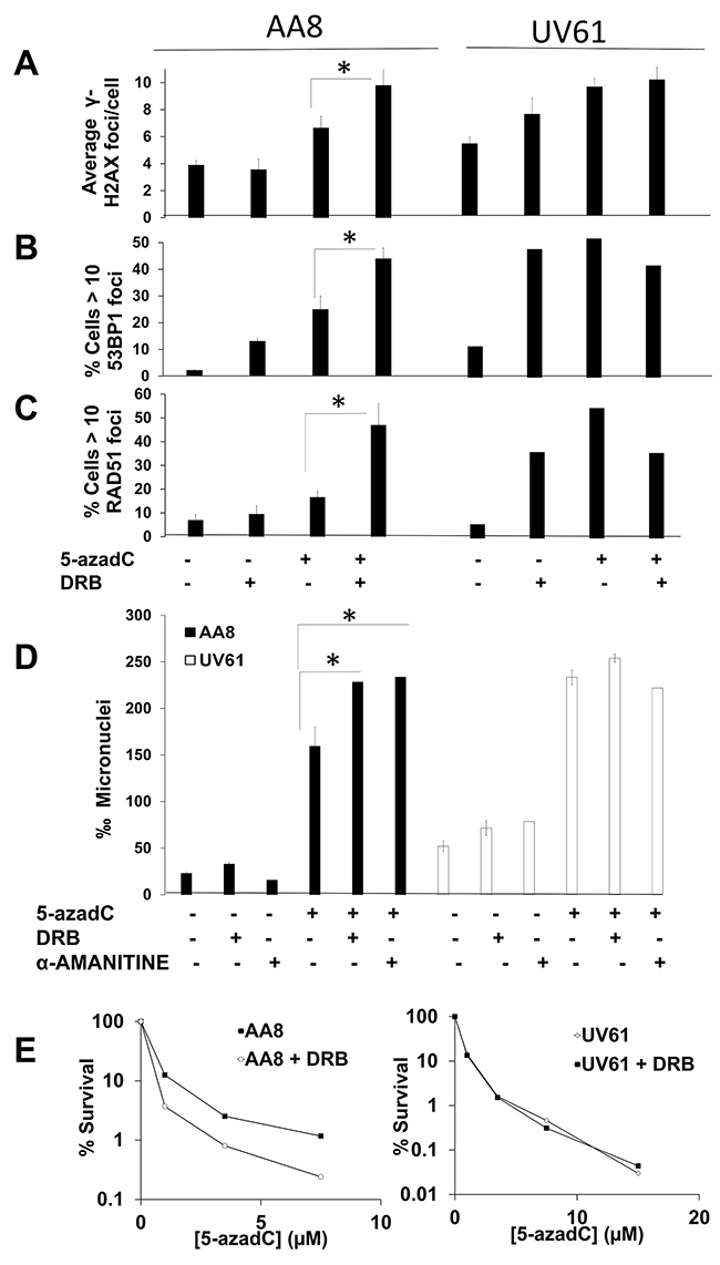 Prolonged transcription inhibition potentiates 5-azadC-induced DNA damage in a CSB dependent manner.