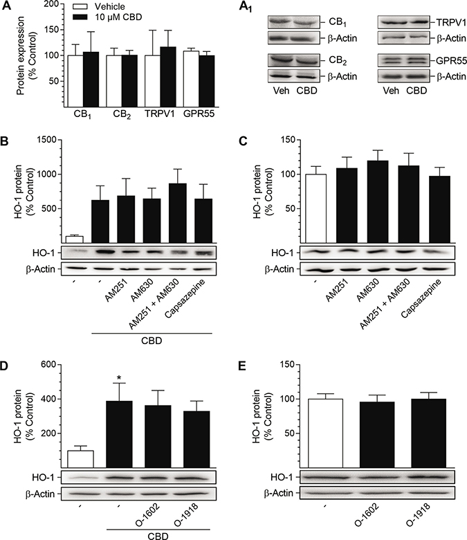 Presence of potential target receptors of CBD in HUASMC and investigation of their involvement in CBD-mediated induction of HO-1 protein.