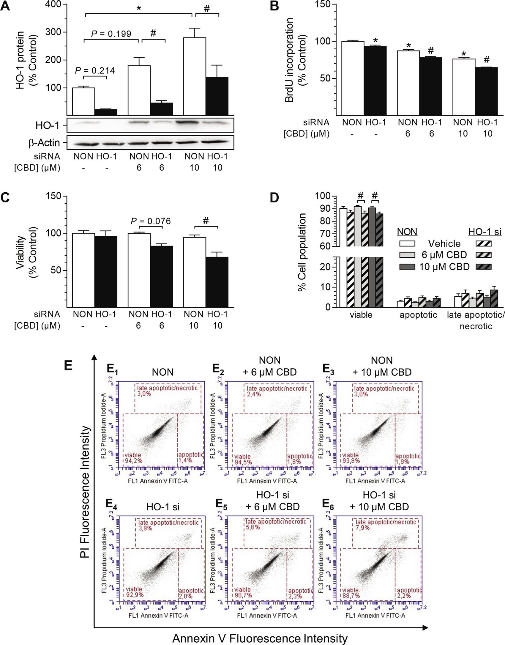 Impact of HO-1 siRNA on CBD-mediated anti-proliferative effects and viability of HUASMC.