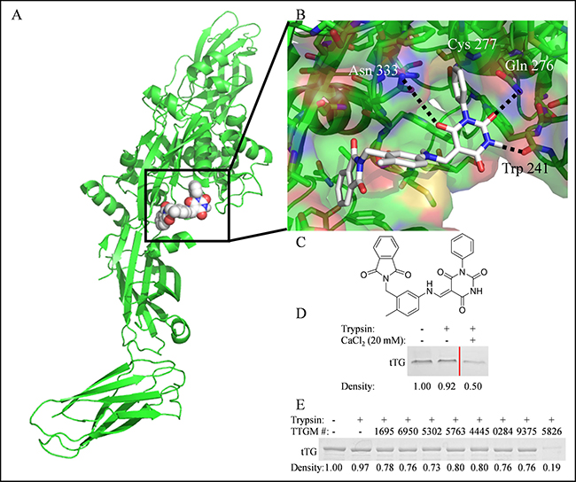 The identification of TTGM 5826 as a potential modulator of tTG conformation.